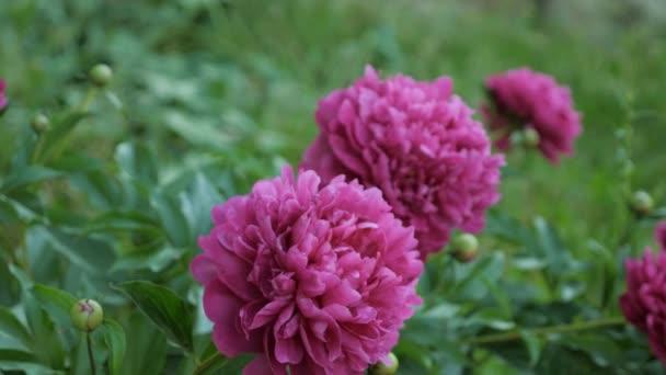 Krásná červená Pivoňka květiny v zahradě, zblízka