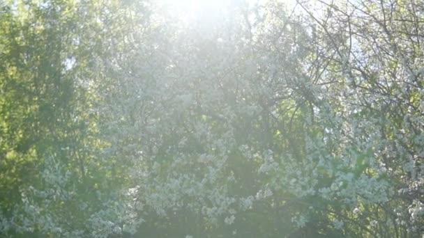 Springtime. Cherry bushes during flowering