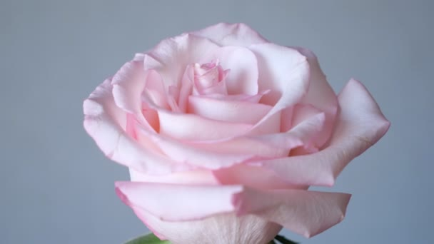 Pink rose flowers arrangement on grey background