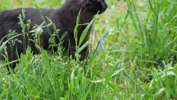Fekete macska a fűben keres valamit.