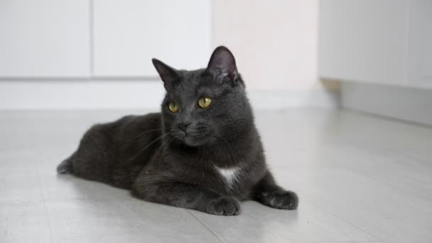gray cat lying on the floor is watching the movement of something