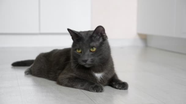 Gray cat lying on the floor monitors the movement of the spikelet