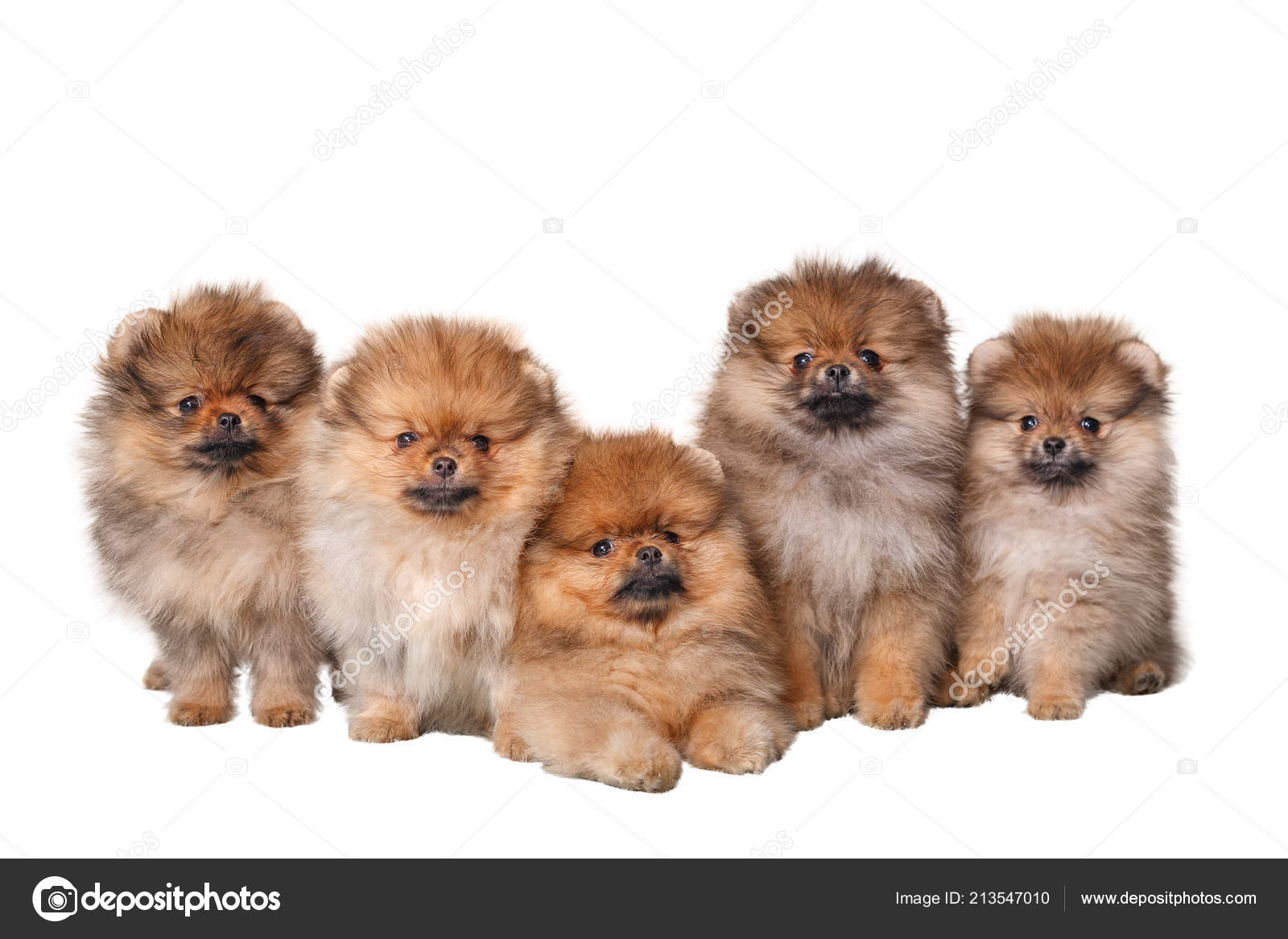 Cute Puppies Fluffy Five Fun Cute Fluffy Puppies Spitz Sitting White Isolated Background Stock Photo C Pnk68 213547010
