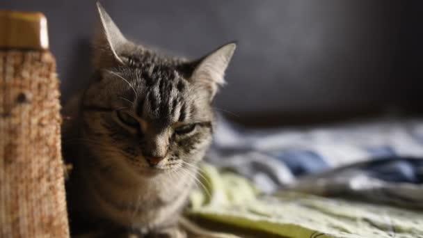 Közelkép az amerikai Gyorsírás macska, az ágyon.