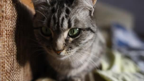 Close-up of American shorthair cat lying on the bed.