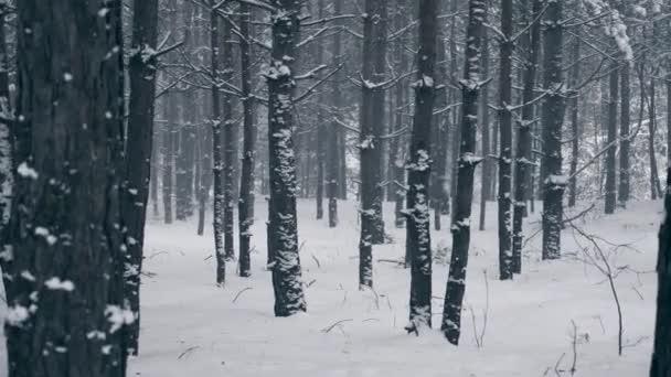 Blizzard sněhové bouře v zimním lese. Dřevo během sněžení. Frost chladné počasí sněhu zahrnuty stromy pomalý pohyb