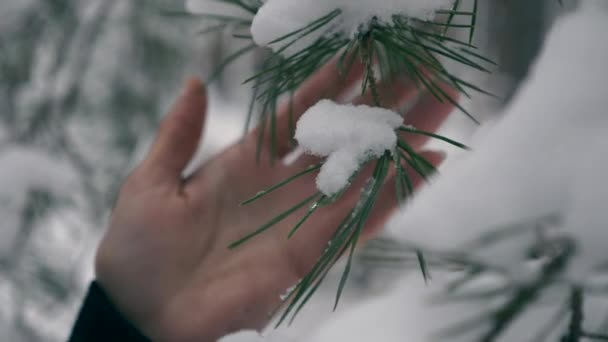 Female Hand Touches Pine Tree Branches Covered With Snow. Holidays Vacation Walking Hiking in Winter Forest During Snowfall. Frost Weather In the Wood. Slow motion 60 fps