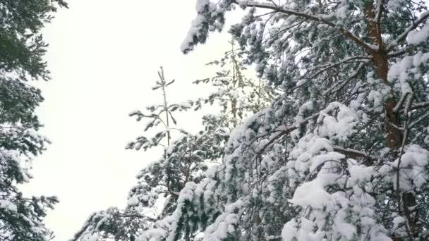 Hóval borított fák fa után Blizzard. A téli vakációkban erdő alatt havazás. Fagy Időjárás lassú mozgás