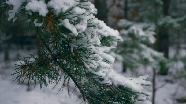 Közelkép hópelyhek fenyő fa ága a fát. Hóval borított erdő, téli ünnepek, karácsony, Szilveszter. Havas, hideg fagy téli időjárás szezonban