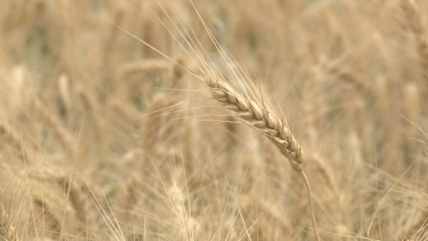 Golden ears of wheat on a wheat field ready for harvesting