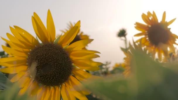 Slunečnicová pole před západem slunce. Slunečnicové květy rostou v poli