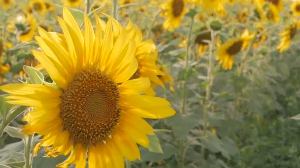 Slunečnicová pole před západem slunce. Slunečnicové květy rostou v poli.