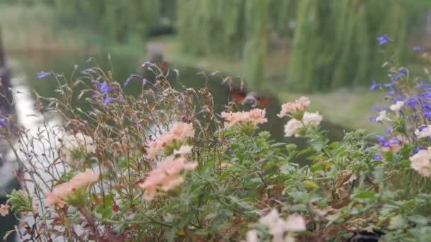 Hummingbird Hawkmoth, macroglossum stellatarum collects nectar