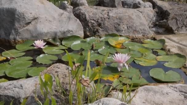 Bílá lilie v jezírku. Krásné bílé vody lekníny a tropické podnebí.