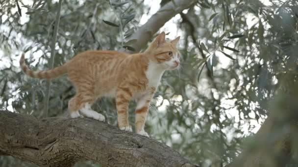 Krásná červená kočka kráčí po větvi olivovníku.