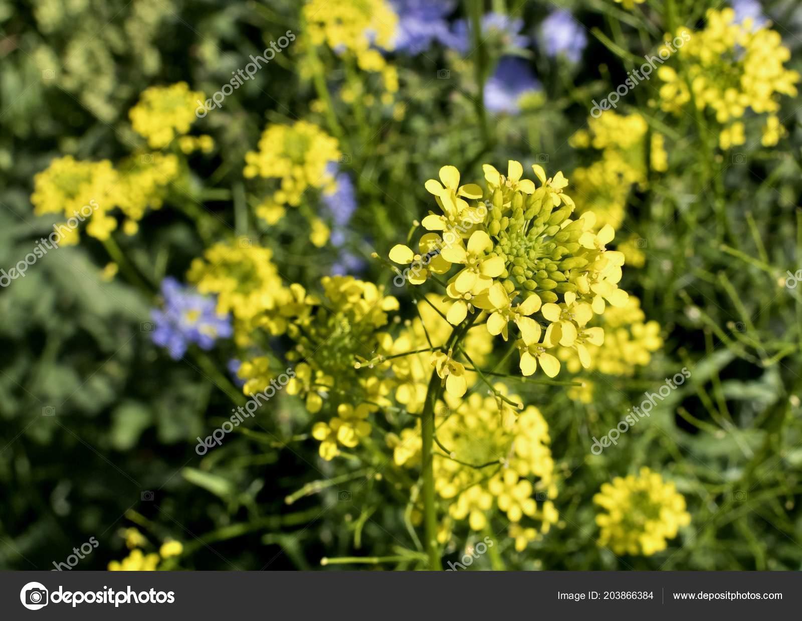 Small Yellow Flowers Weeds Arugula Plant Latin Name Barbarea Stock
