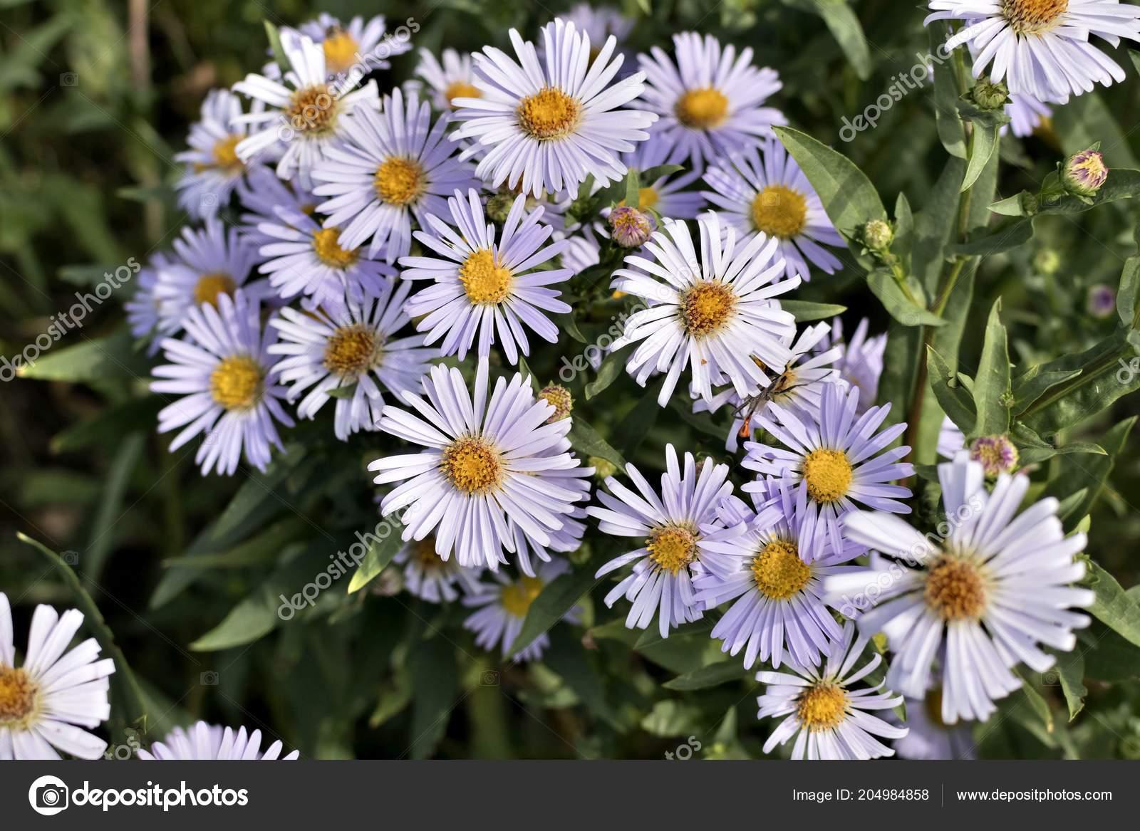Beautiful Flowers Melkolepestnik Latin Name Erigeron Stock Photo