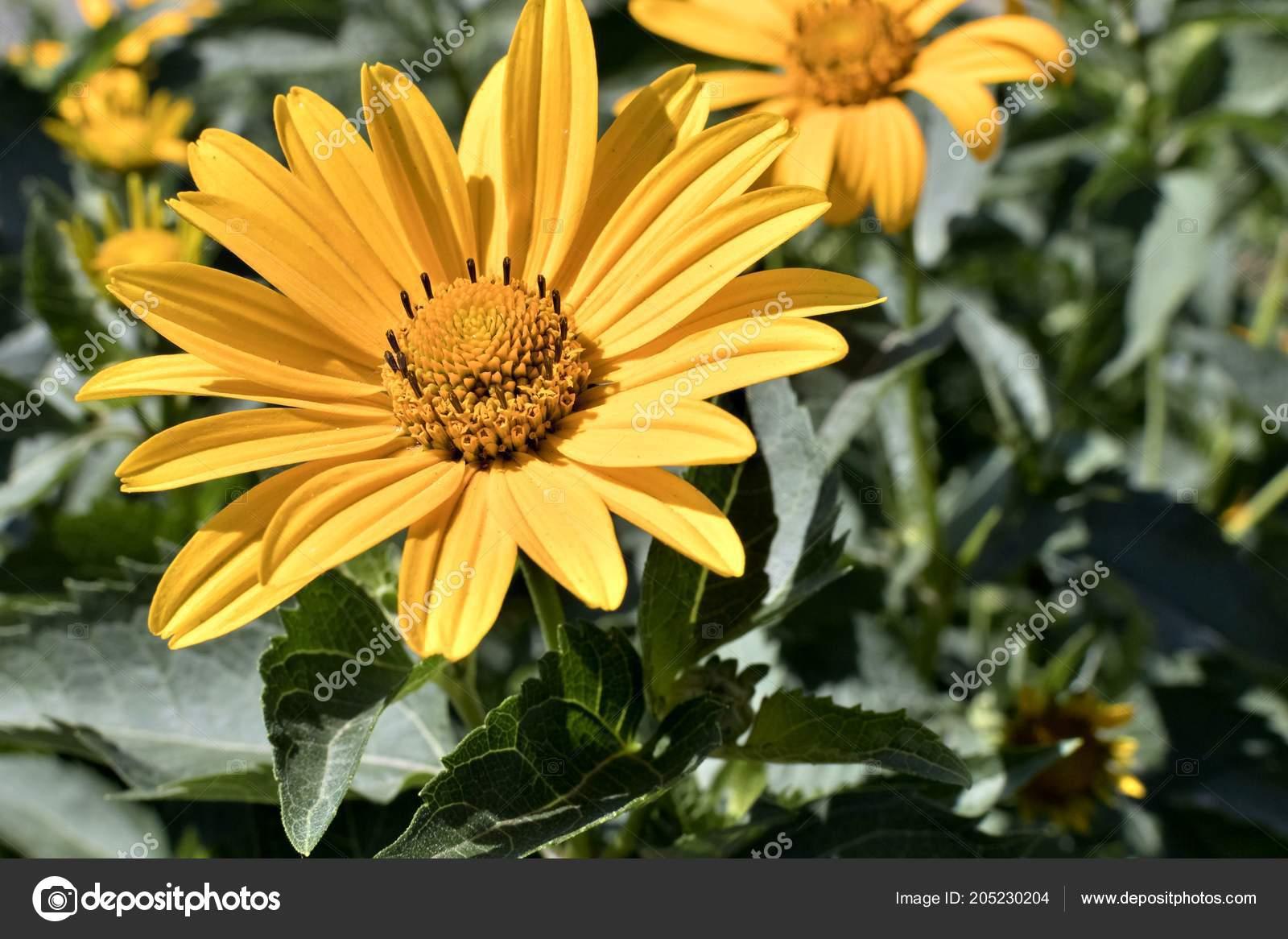 Sol Heliopsis Flores Amarelas Uma Planta Com Nome Latim Heliopsis