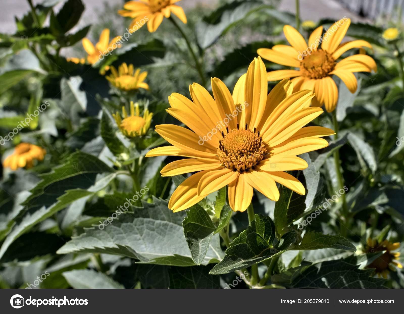 Yellow Flowers Heliopsis Sun Plant Latin Name Heliopsis Stock