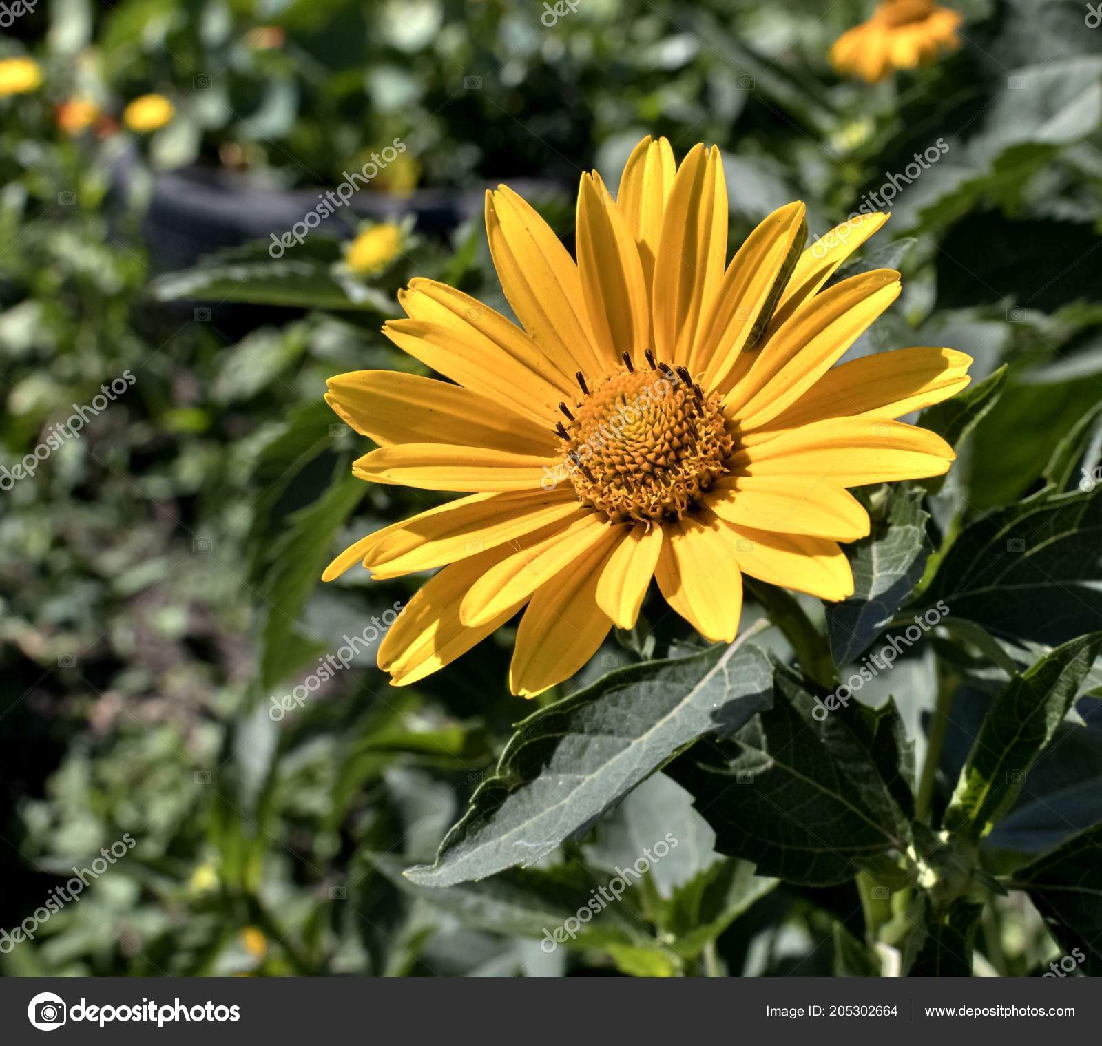 Yellow Flowers Heliopsis Sun Plant Latin Name Heliopsis Stock