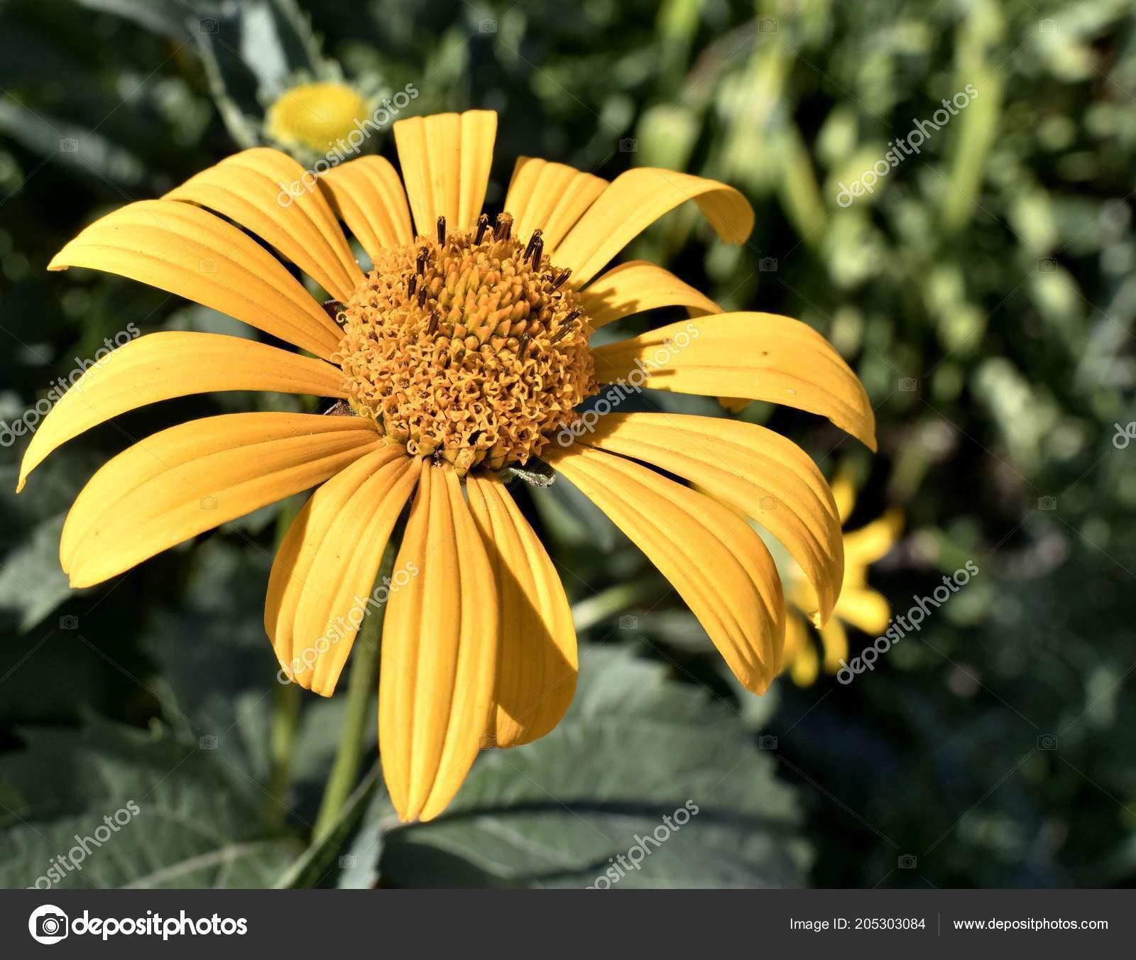 Sol Heliopsis Flores Amarillas Una Planta Con Nombre Latino