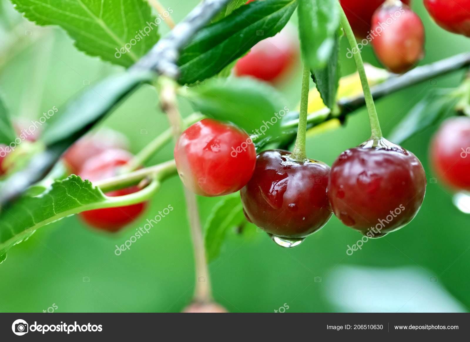 Cherry Rain Nude Photos 8