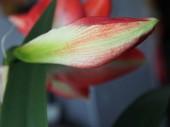 pályázat Bud a Amaryllis a virágzó hamarosan