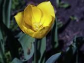 sárga tulipán virágzott a kertben, makró, keskeny fókuszterület