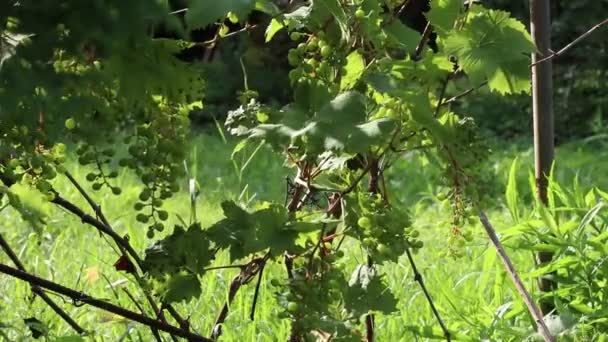 Unripe wine grapes moving in the wind in a garden