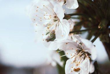 Beautiful cherry flowers. Sakura