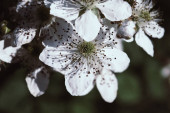 Blackberry Flowers in Bloom. Background