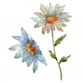 Fotografie Wildflower daisy. Floral botanical flower. Wild spring leaf wildflower isolated. Aquarelle wildflower for background, texture, wrapper pattern, frame or border.