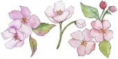 Fényképek Pink cherry blossoms. Floral botanical flower. Wild spring leaf wildflower isolated.