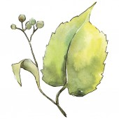 Zelený lipový. Listy rostlin Botanická zahrada květinové listy. Izolované ilustrace prvek. Aquarelle list pro pozadí, textura, souhrnný vzorek, rám nebo hranice