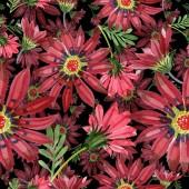 Piros gazania virág. Virágos botanikai virág. Varratmentes háttérben minta. Szövet nyomtatási textúrát. A háttér textúra, burkoló minta, keret vagy határ Aquarelle vadvirág.