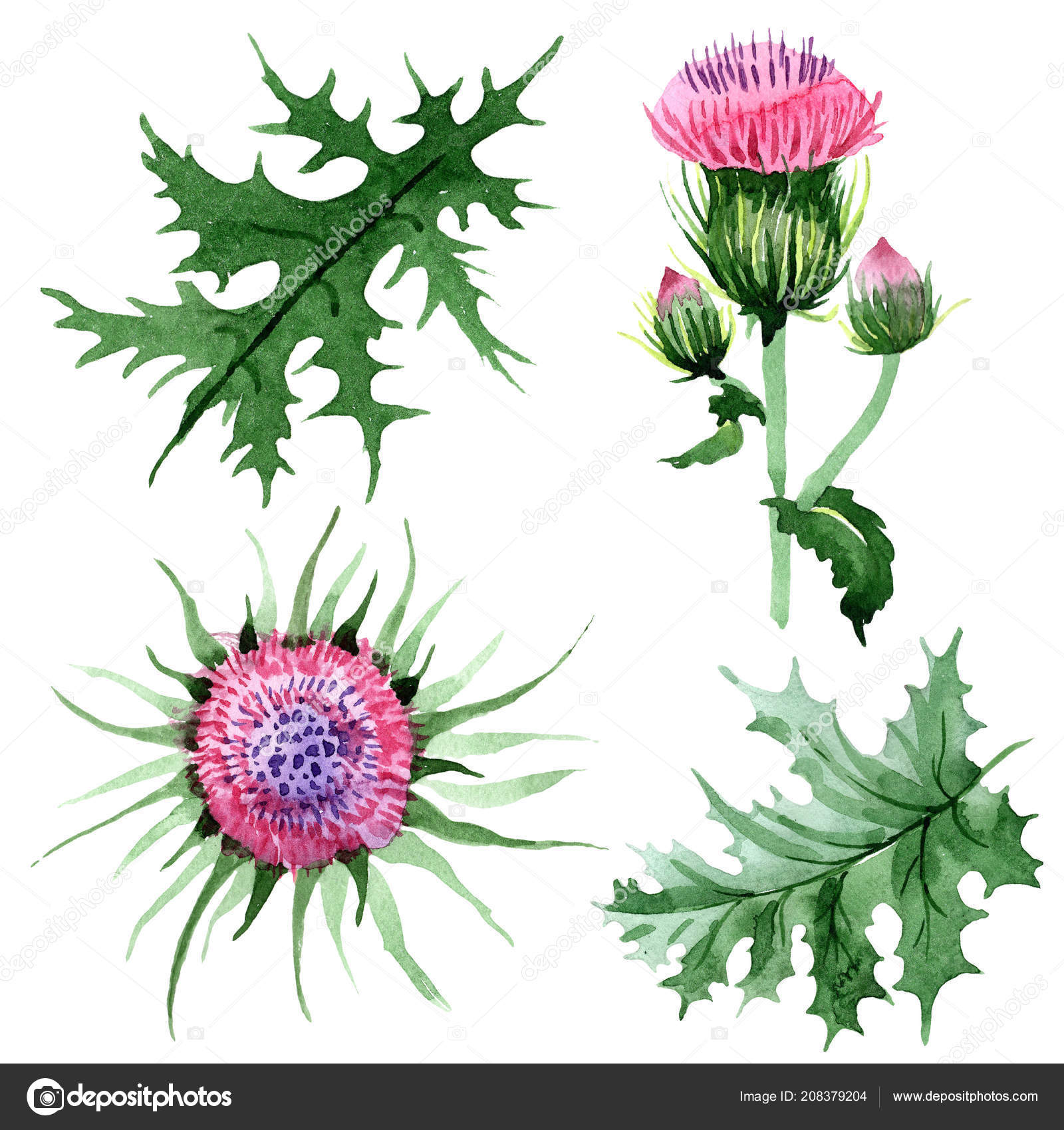 7100df6c6 Watercolor Pink Thistle Wildflower Floral Botanical Flower Isolated  Illustration Element — Stock Photo