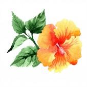 Akvarell narancssárga naranja hibiszkusz virágok. Virágos botanikai virág. Elszigetelt ábra elemet. A háttér textúra, burkoló minta, keret vagy határ Aquarelle vadvirág.