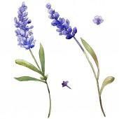 Levendula lila akvarell. Virágos botanikai virág. Elszigetelt ábra elemet. A háttér textúra, burkoló minta, keret vagy határ Aquarelle vadvirág.