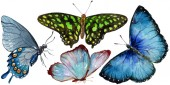 Exotických motýlů divoký hmyz ve stylu akvarelu, samostatný. Celé jméno hmyzu: motýli. Aquarelle divoký hmyz pro pozadí, textura, souhrnný vzorek nebo tetování