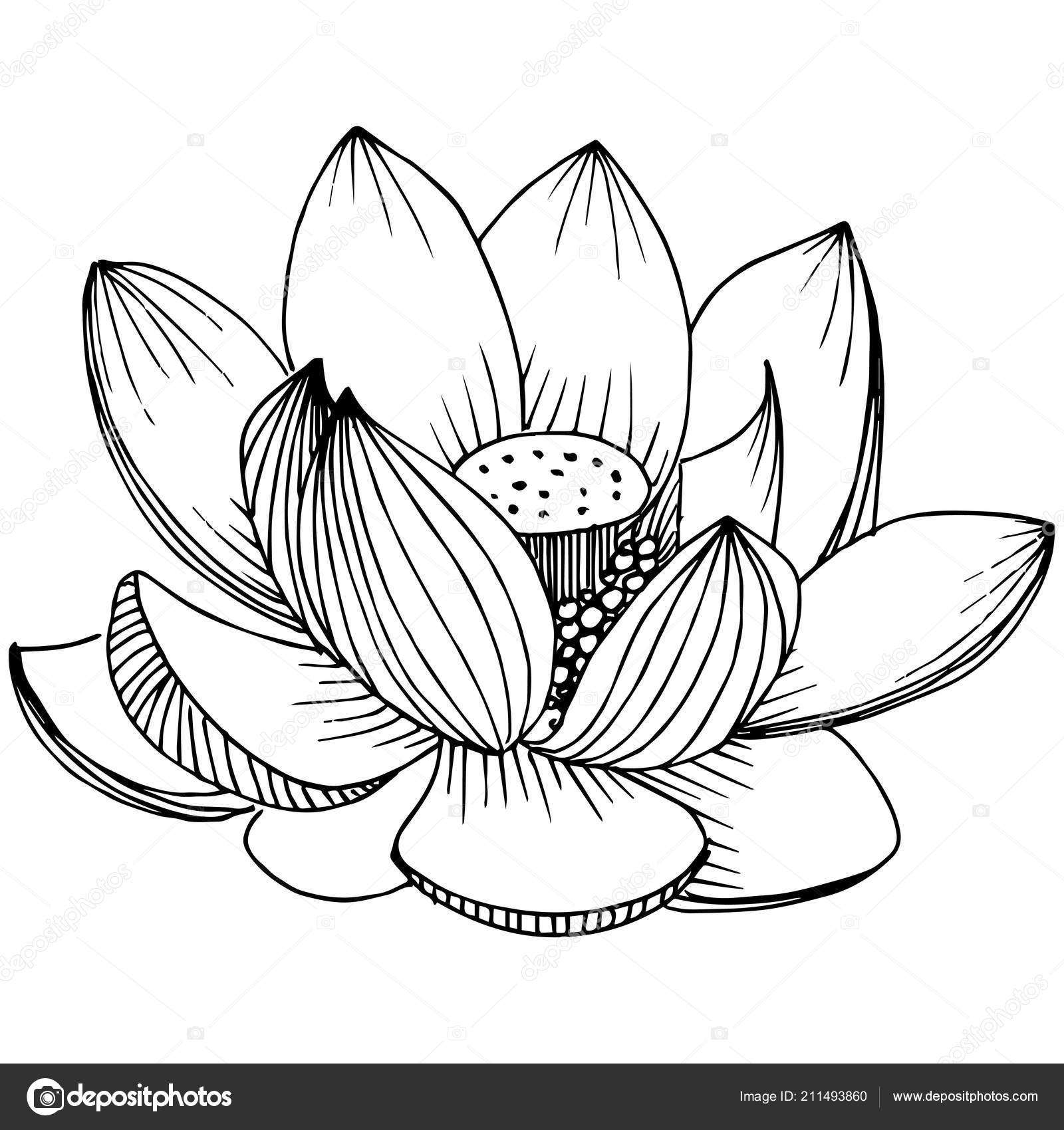 Vector lotus flower floral botanical flower isolated illustration vector lotus flower floral botanical flower isolated illustration element full name of the plant lotus vector wildflower for background texture izmirmasajfo