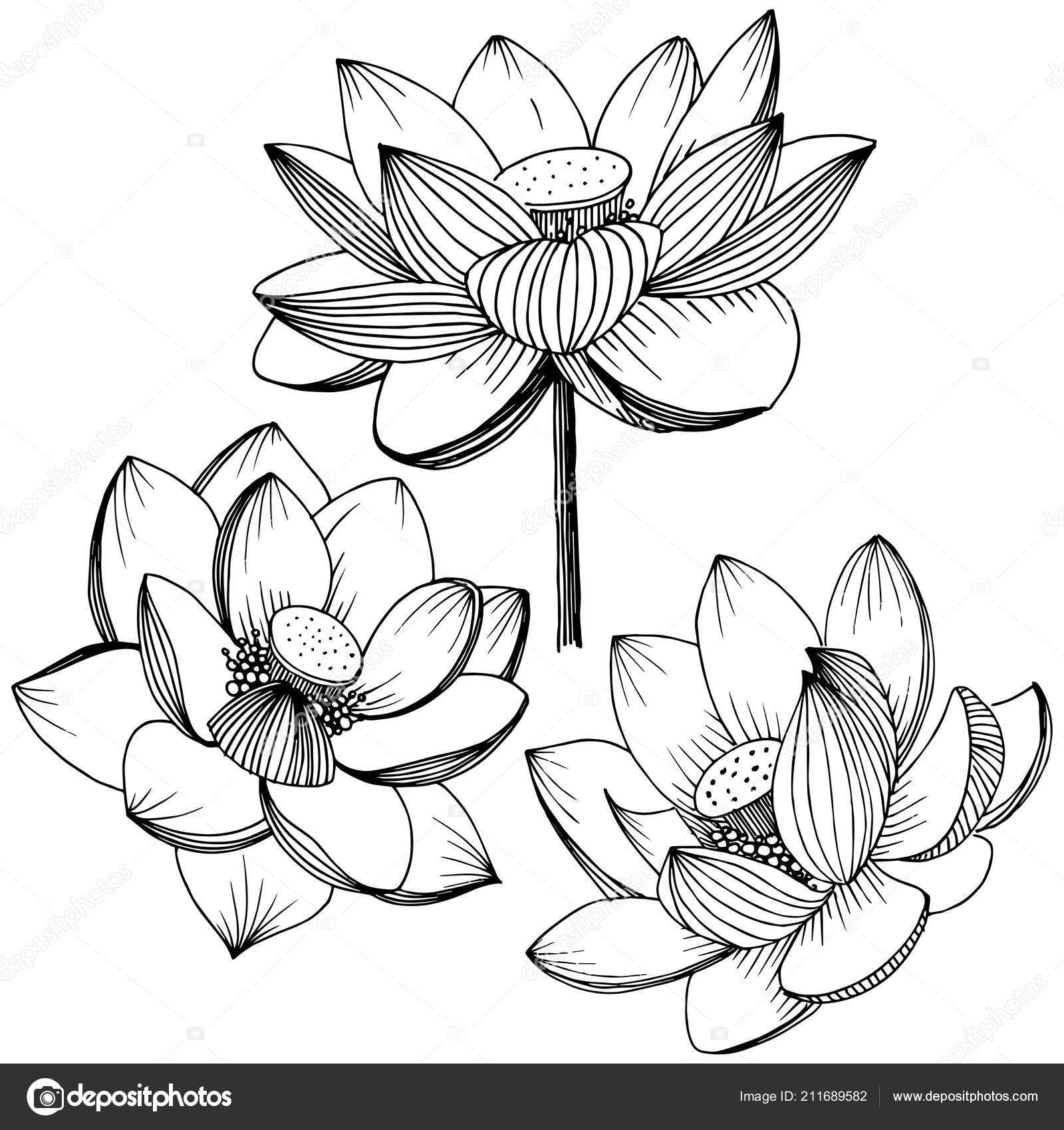 Vector lotus flower floral botanical flower isolated illustration vector lotus flower floral botanical flower isolated illustration element full stock vector izmirmasajfo