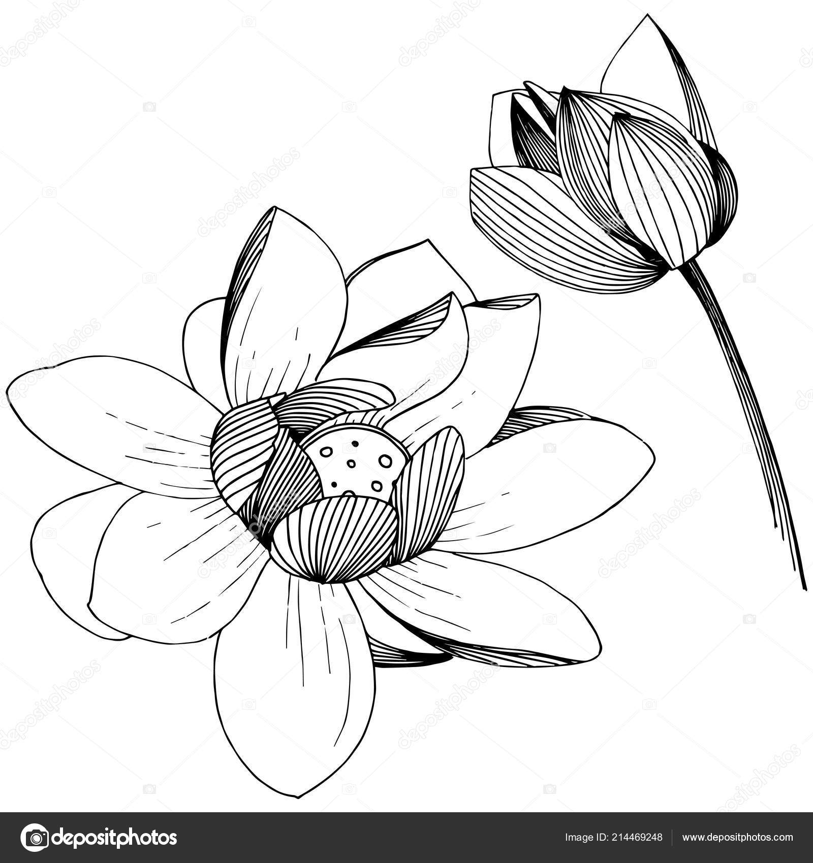 Lotus Flower Vector Style Isolated Isolated Illustration Element