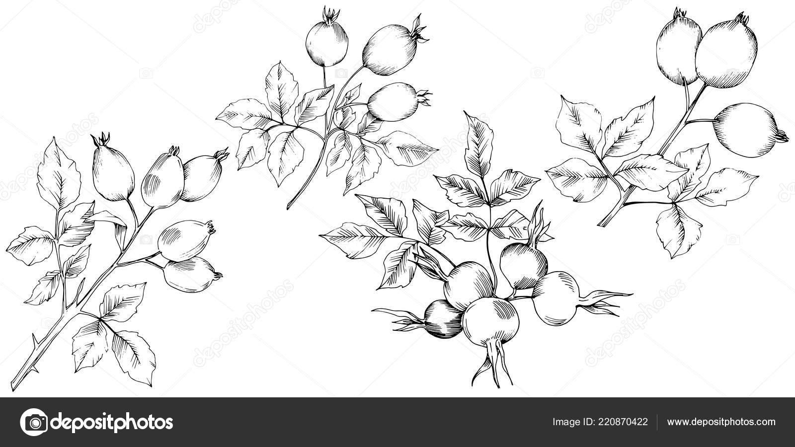 Plant De Rose Musquee Automne Vector Plante Jardin Botanique Floral