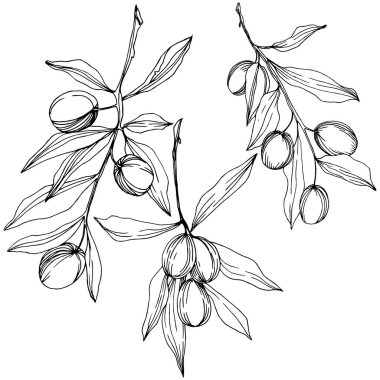 Olive tree in a vector style isolated. Black and white engraved ink art.