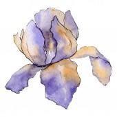 Fotografia Iride viola. Botanico floreale. Aquarelle disegno acquerello isolato. Elemento di illustrazione iride isolato