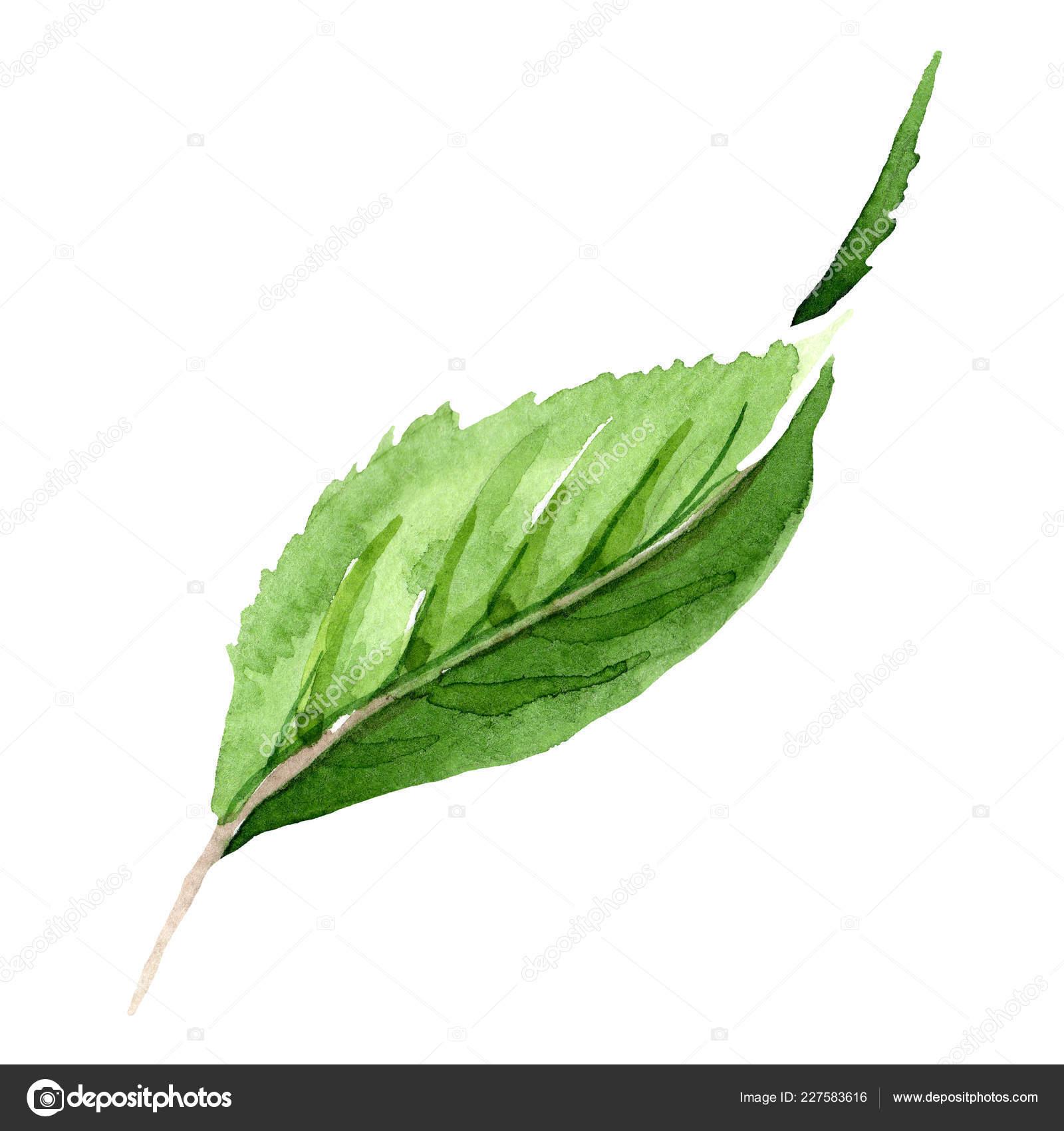 Green Tea Leaves Watercolor Green Tea Leaves Isolated Illustration Element Watercolor Background Illustration Set Stock Photo C Mystocks 227583616