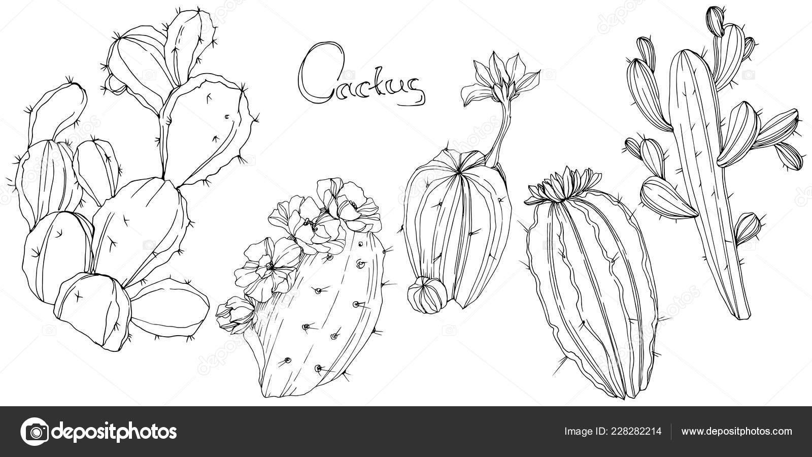 foto de Cactus de vecteur. Fleur botanique floral. Noir et blanc gravé art ...