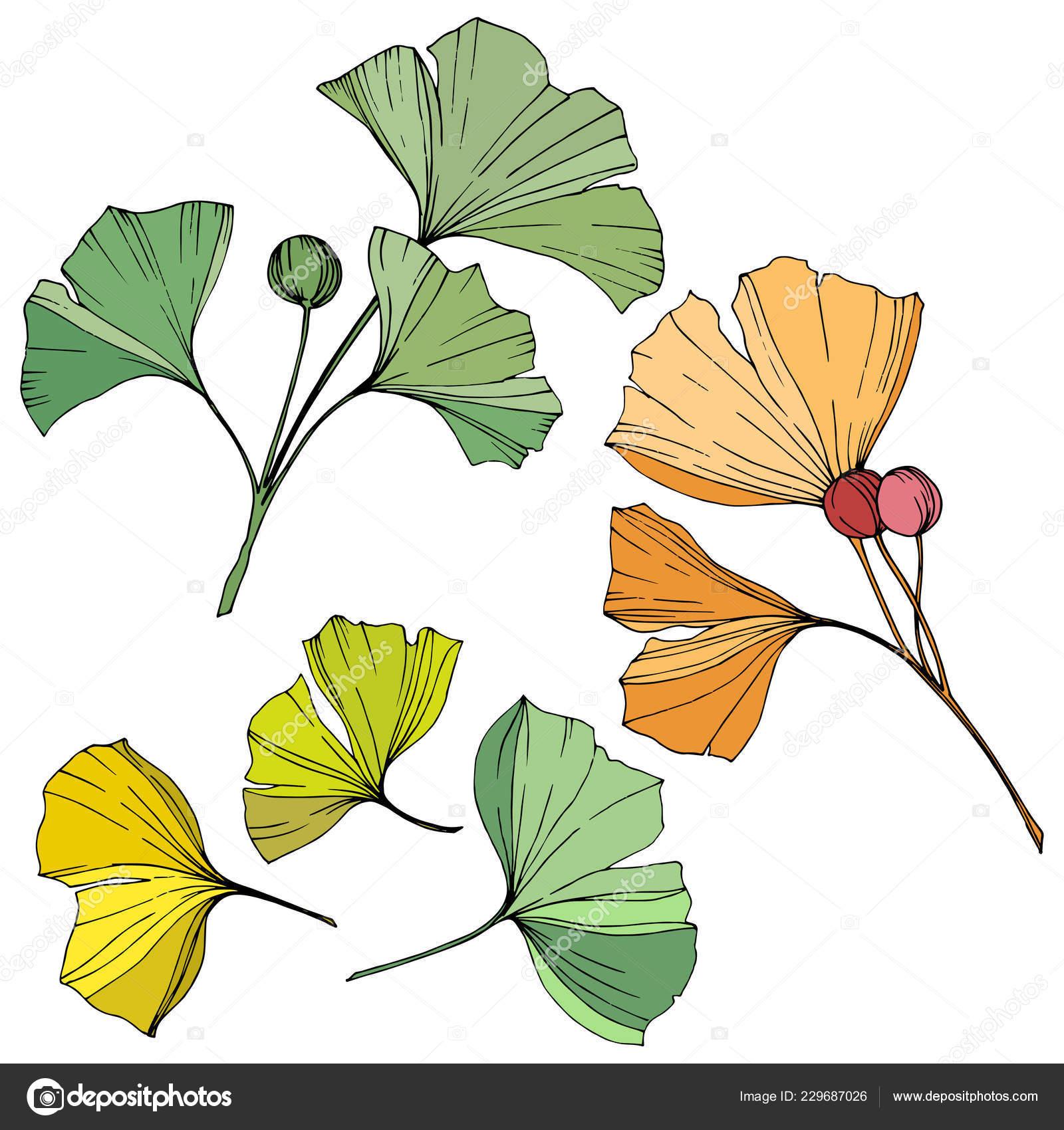 Vector Engraved Yellow Orange Green Ginkgo Leaf Plant Botanical