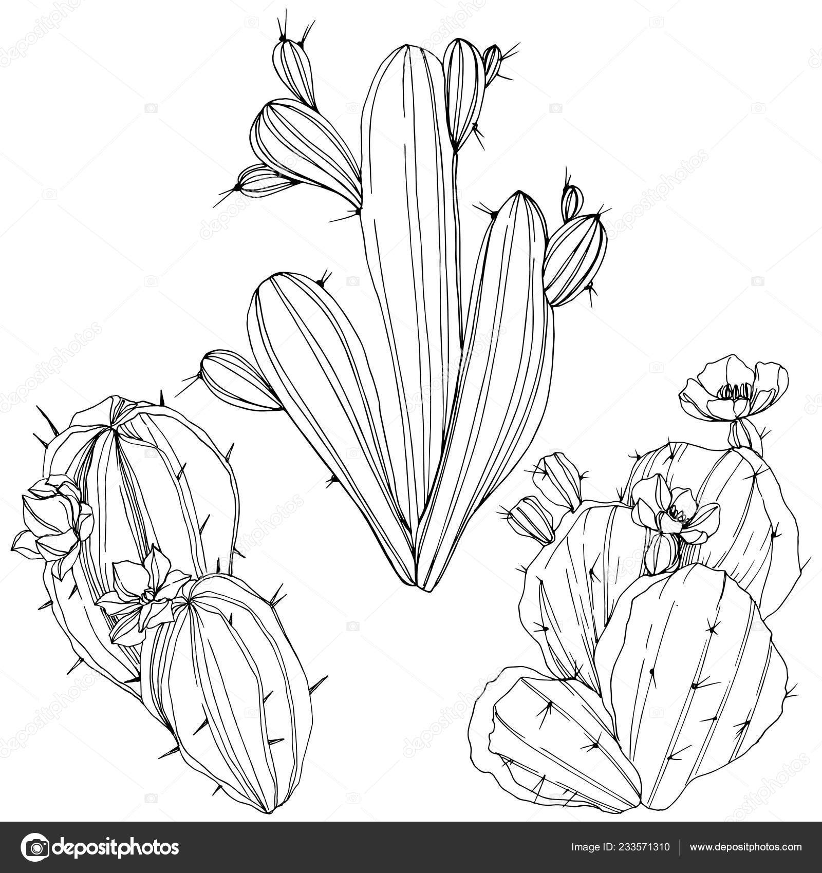 Vector Cacti Floral Botanical Flower Black And White Engraved Ink