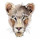 Fényképek Egzotikus oroszlán vadon élő állatok akvarell stílusú elszigetelt. Akvarell háttér illusztráció készlet.